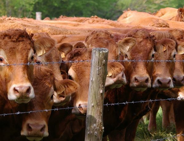 Fatal Incidents involving cattle and the public